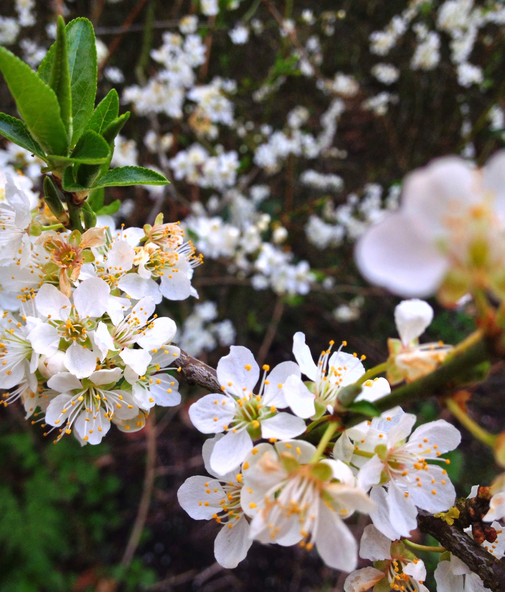 De eerste lente geuren