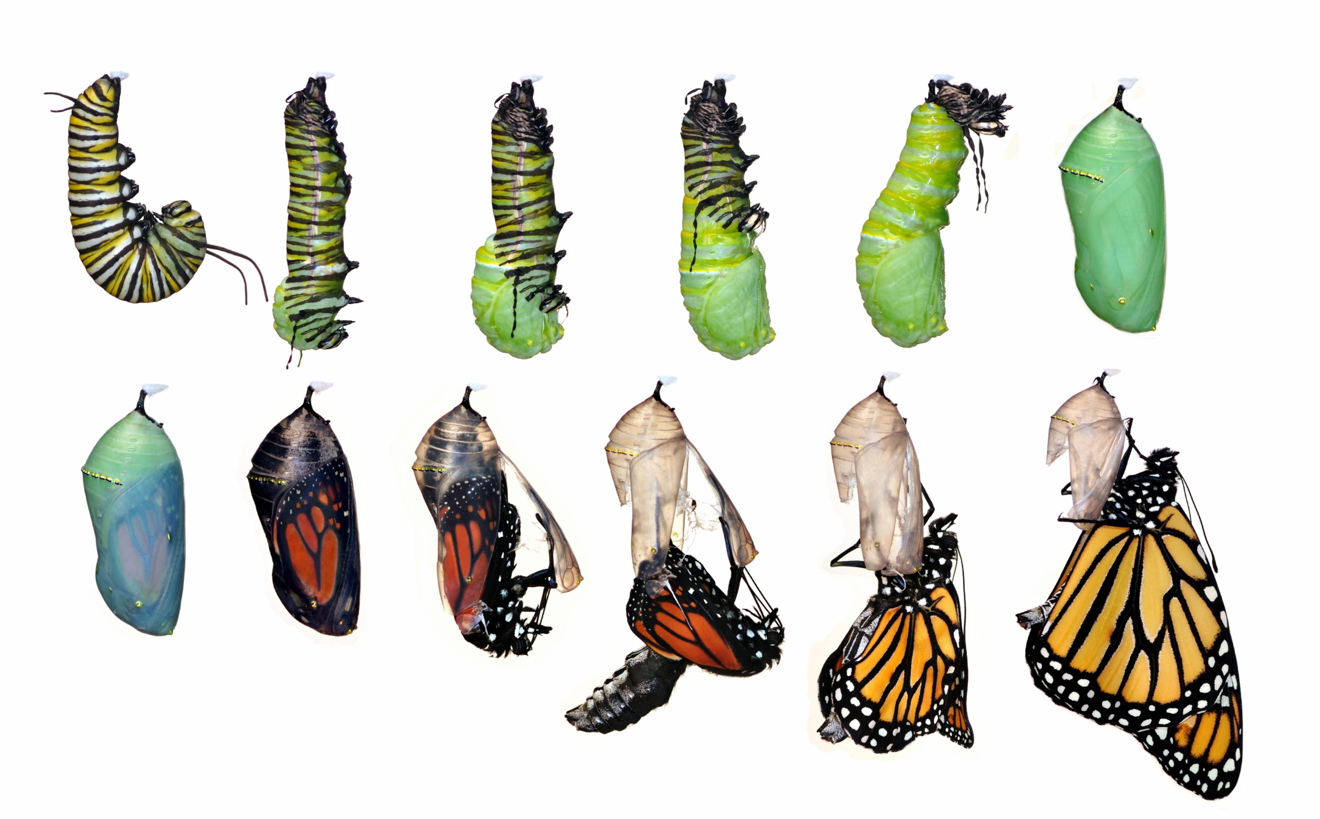 Butterfly_Meteamorphosis